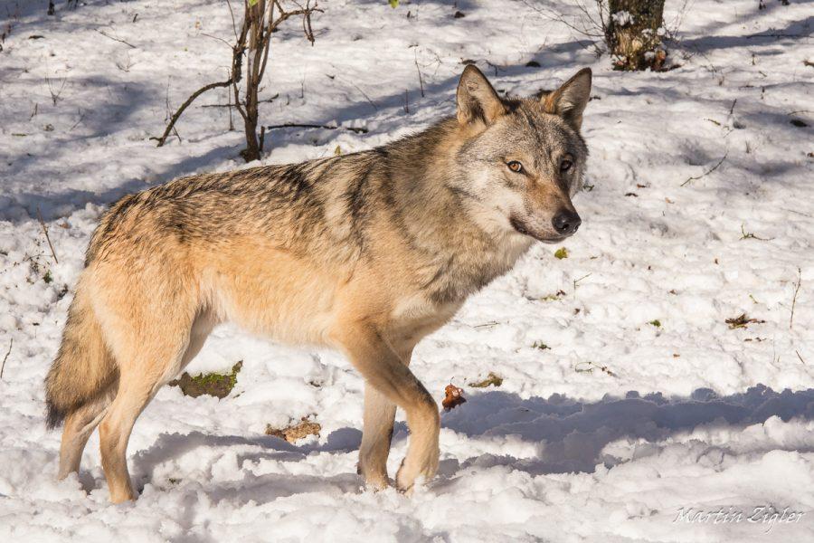 Wolf_MartinZigler_
